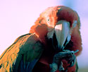 Hybrid of Green-winged Macaw and Blue-and-gold Macaw